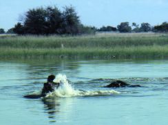 Hippos can be a water hazard