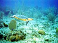 Dive with turtles on Little Cayman Island