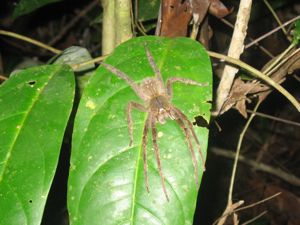 Jumping spider in Manu National Park Peru
