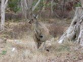 A live Skippy kangaroo at Naracoorte Caves