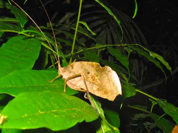 Leaf Mimic Katydid