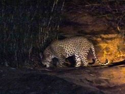 Leopard on night drive Kruger NP South Africa
