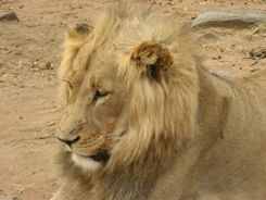 Lion - South Africa