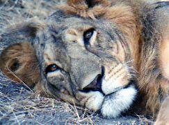 African Lion, Tanzania