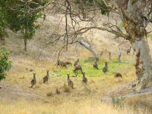 Kangaroos at the side of the road Australia