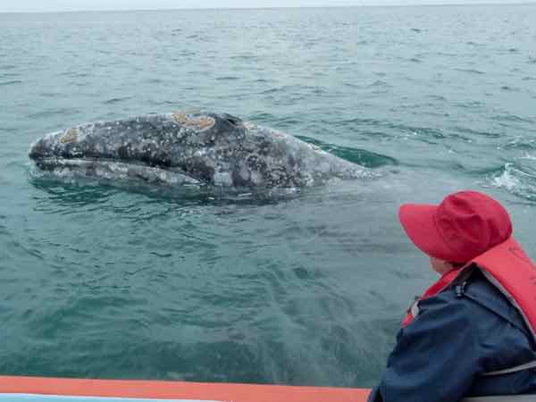 Gray whale checking us out