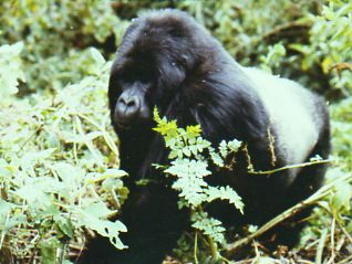 Ndume - Our Silverback