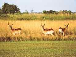 Red Lechwe on the runway at Camp Okavango Botswana