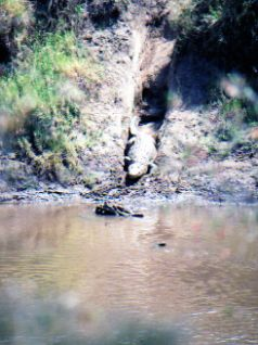 Crocodile entering a river in Kenya