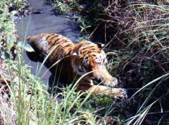 Tiger in India at the end of the dry season
