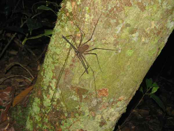 Whip Tailless Scorpion Spider