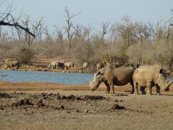 White Rhino Royal Hlane National Park Swaziland
