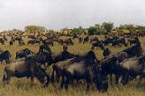 Wildebeest migration Masai Mara Kenya