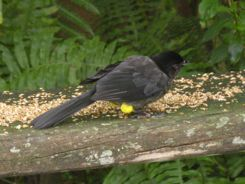 Yellow-thighed Finch Panama