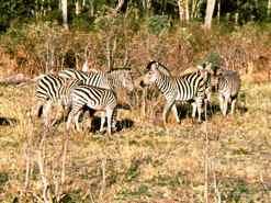 Zebra in Moremi NP Botswana