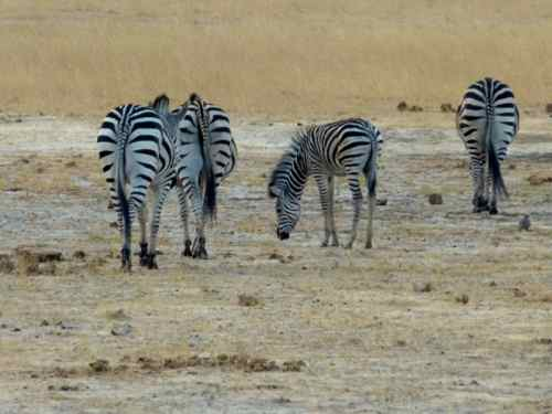 Zebra, Hwange NP, Zimbabwe
