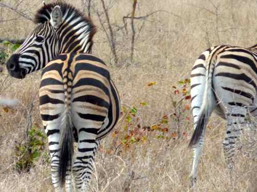 Zebra, Timbavati, South Africa