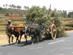 Zebu carts Share Madagascar Roads